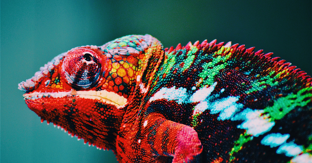 Photo of a chameleon changing colors